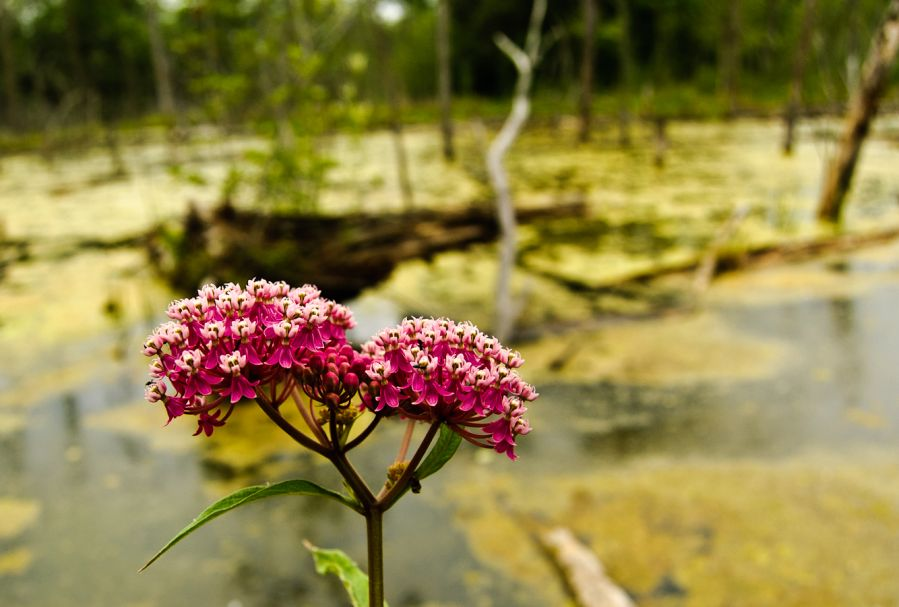 The Swamp and The Milkweed